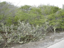 Typical vegetation on Curacao
