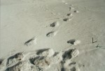 Polarbear foot prints